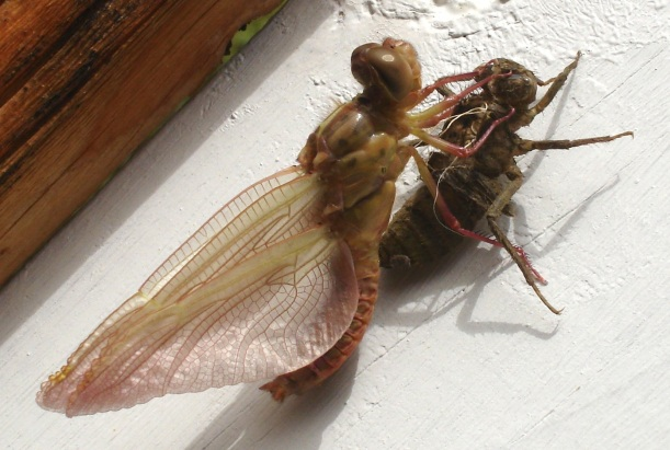 Faery-like dragonfly emerged, copyright Jean Eisenhower 2014